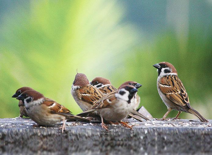 Bầy chim sẻ kéo về | Đặc san Hoa Đàm